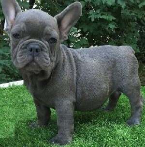French Bulldogs. offer Dogs & Puppies