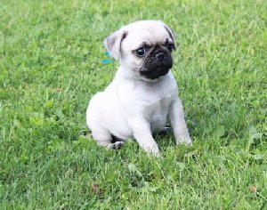 Registered Pug Pups Picture
