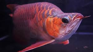 Buy Arowana fish offer Fish
